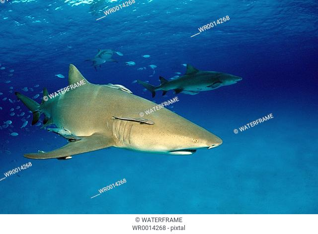 Lemon Sharks, Negaprion brevirostris, Atlantic, Caribbean Sea, Bahamas