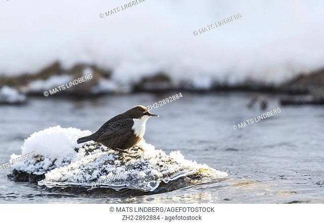 White-throated dipper, Cinclus cinclus sitting on a rock besides open water with frost snow and ice around him, Norrbotten, Sweden
