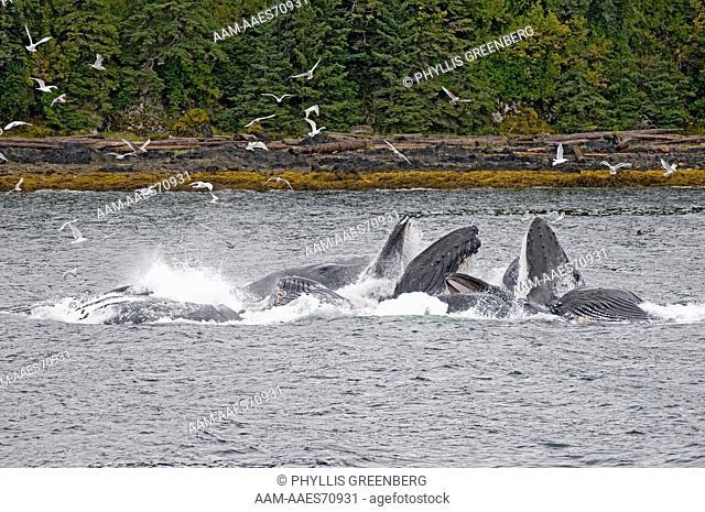 Humpback Whale (Megaptera novaeangliae) Bubble Net Feeding behavior, Chatham Strait, Inside Passage, Alaska  2008  Digital