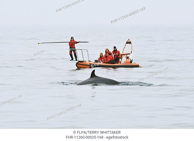 Northern Minke Whale Balaenoptera acutorostrata adult, surfacing, Cetacean Research and Rescue Unit with radio transmitter, Moray Firth, Scotland