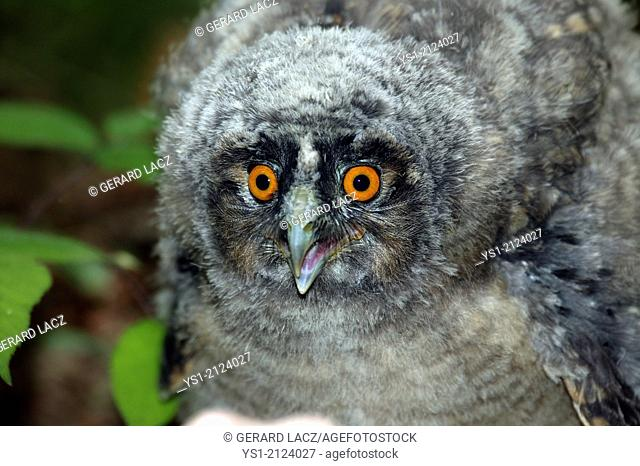 Long-Eared Owl, asio otus, Young calling, Normandy