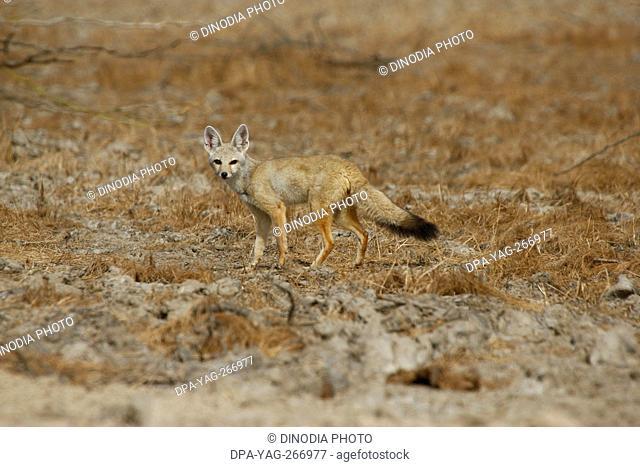 Indian fox, Kutch, Gujarat, India, Asia
