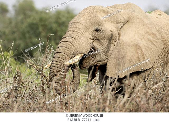 Elephant grazing on thorn bush
