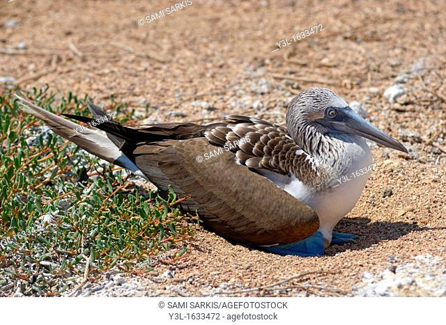 Blue-footed Booby (Sula nebouxii) incubating egg , North Seymour Island, Galapagos Islands, Ecuador