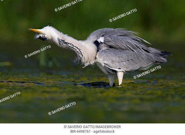 Grey Heron (Ardea cinerea), adult shaking itself, standing in water, Campania, Italy