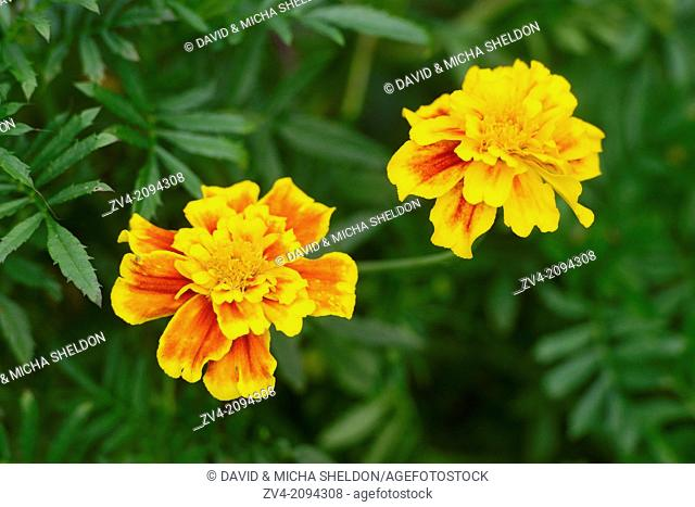 Close-up of Tagetes blossoms in a garden