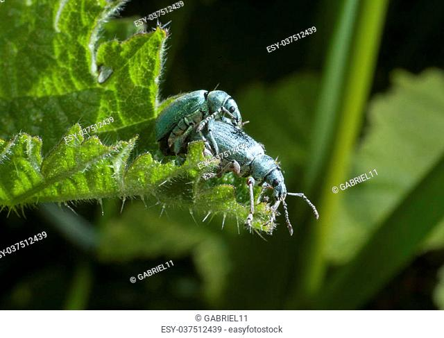 Green beetles mating on a leaf in a garden