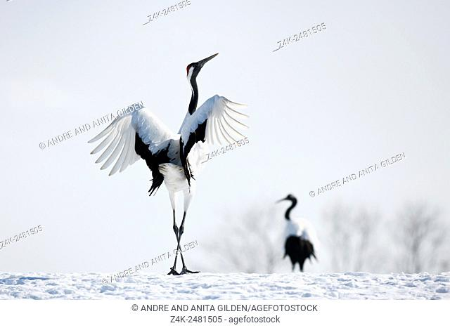 Japanese red-crowned crane (Grus japonensis) adult pair, displaying in snow, Akan, Hokkaido, Japan