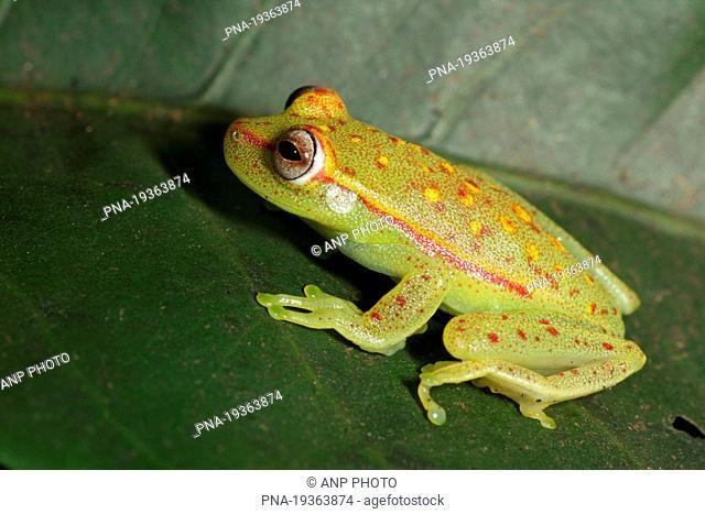Polkadot Treefrog Hyla punctata - Tamshiyacu Tahuayo Reserve, Amazone, Loreto, Maynas, Peru, South America