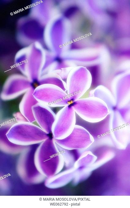 Lilac 'Sensation'. Syringa vulgaris. May 2006, Maryland, USA
