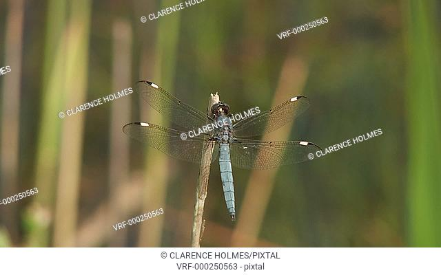 A male Spangled Skimmer (Libellula cyanea) dragonfly clings to a reed in a marshy area in spring, and then flies away