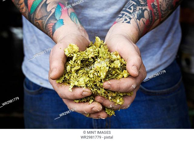 Close up of person standing in a brewery, holding some hops, tattooed arms