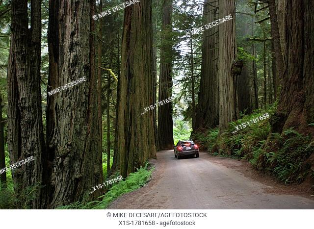A car is tiny compared to the giant Redwoods on either side as it makes it way through a Redwood grove