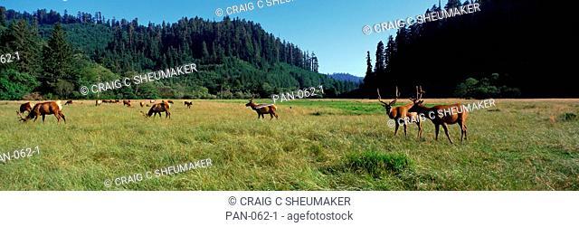 Grazing Elk, California, USA