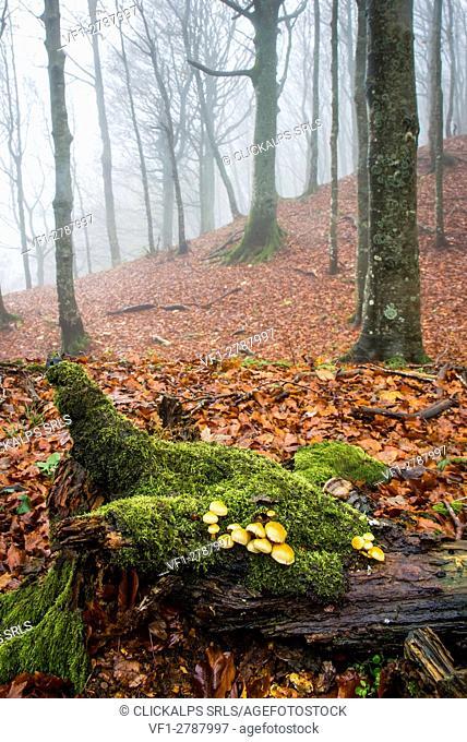 Sassofratino Reserve, Foreste Casentinesi National Park, Badia Prataglia, Tuscany, Italy, Europe. Mushrooms on fallen trunk covered with moss