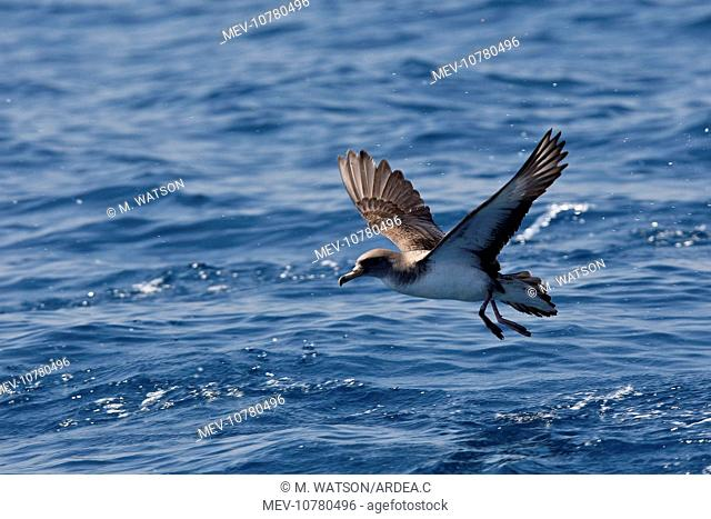 Cory's Shearwater - taking off. (Calonectris diomedea)