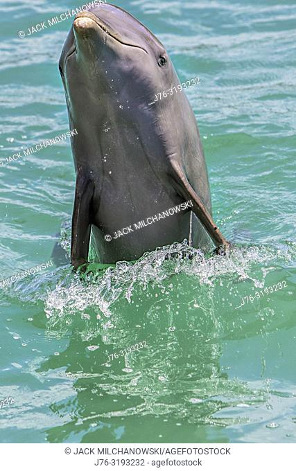 Bottlenose Dolphin (Tursiops truncatus). Port of Belize City. Belize