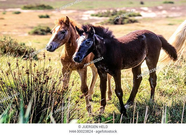 Camargue Horses , foal, Camargue, France