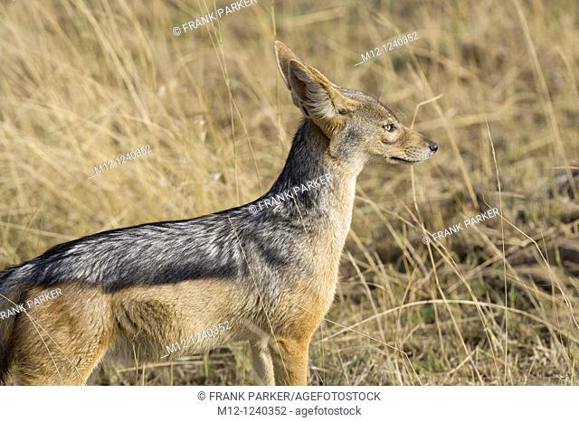 Black Backed Jackal in the Masai Mara