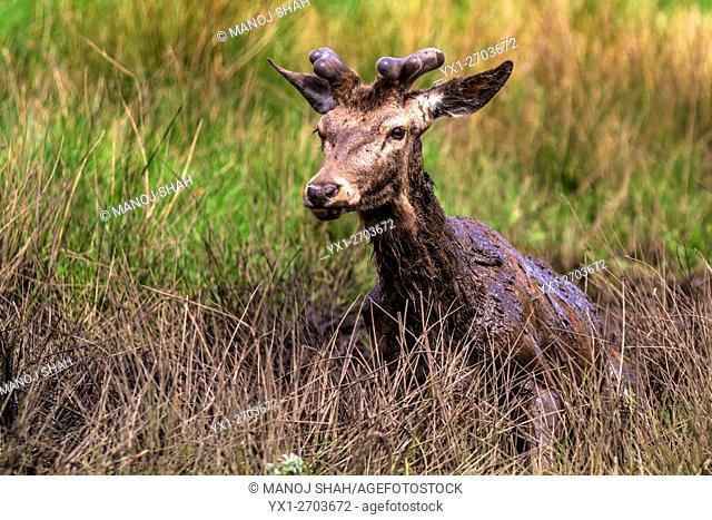 Red Deer adolescent male having a mud bath at Bushey Park, London, UK