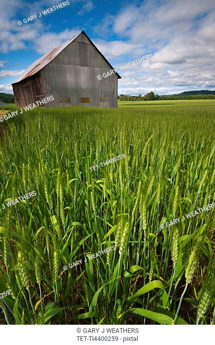 USA, Oregon, View through wheat field on wooden barn