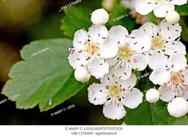 Oneseed Hawthorn, Crataegus monogyn  Spray of hawthorn   Blossoms crowd together  Blossoms of the hawthorn can be used for making wine and honey  Berries of the...