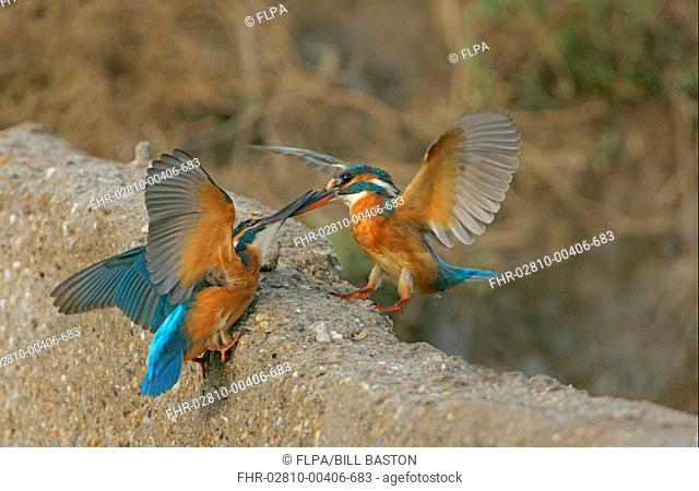 Common Kingfisher Alcedo atthis two adults, fighting over fishing territory, Turkey, october