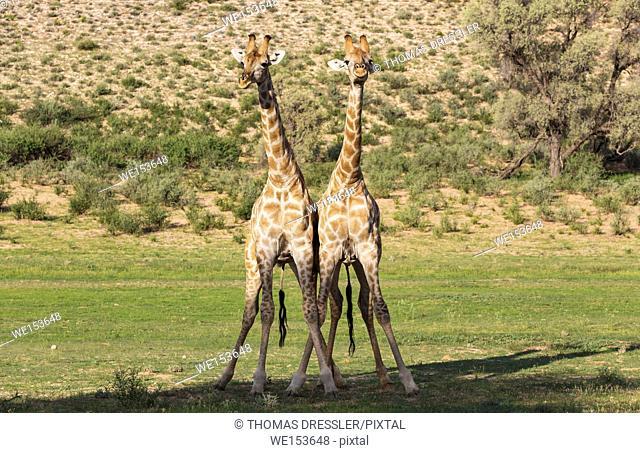 Southern Giraffe (Giraffa giraffa). Fighting males. During the rainy season in green surroundings. Kalahari Desert, Kgalagadi Transfrontier Park, South Africa