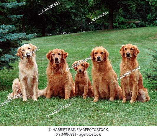 Golden Retriever, five dogs in a group