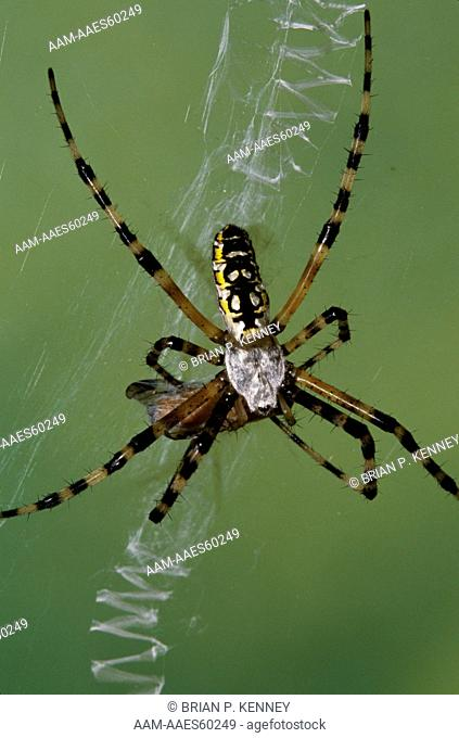 Black and Yellow Argiope / Yellow Garden Spider (Argiope aurantia) in web with prey, Florida