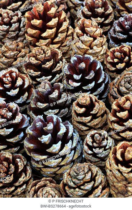 Scotch pine, scots pine Pinus sylvestris, pine cones, United Kingdom, Scotland, Cairngorms National Park