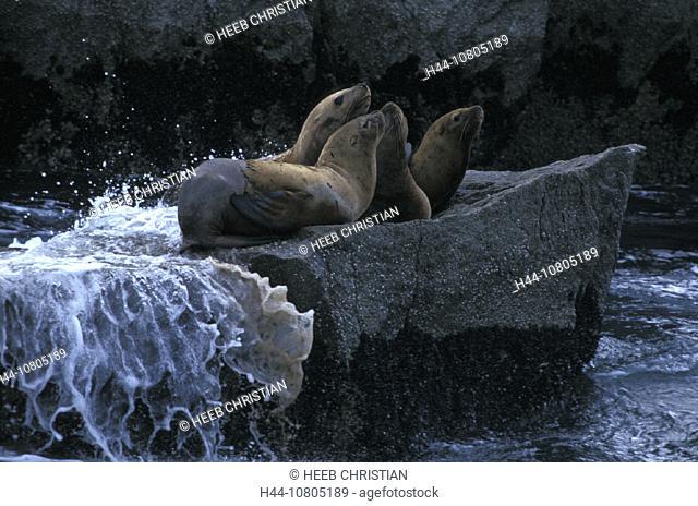 Alaska, Eumetopias jubatus, Kenai Fjords, national park, Northern Sea Lions, USA, America, United States, sea, rocks