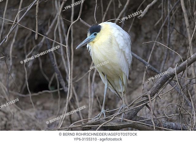 Capped heron (Pilherodius pileatus), adult perched on branch, Pantanal, Mato Grosso, Brazil