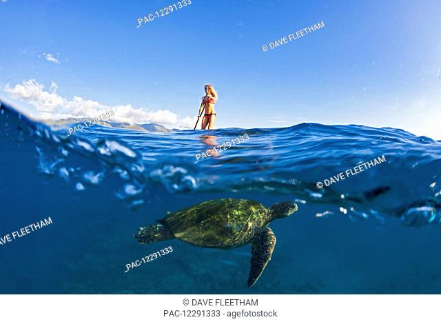 A green sea turtle (Chelonia mydas) an endangered species, below a surf instructor on a stand-up paddle board; Maui, Hawaii, United States of America