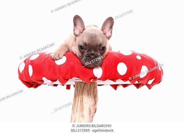 French Bulldog. Puppy (6 weeks old) lying on a big Fly Agaric. Germany