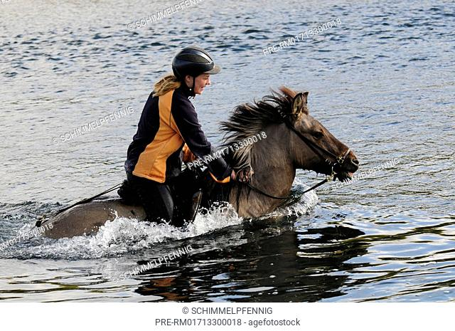 Icelandic horse with rider swimming through river, Iceland