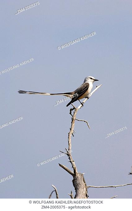 USA, TEXAS, HILL COUNTRY NEAR HUNT, SCISSOR-TAILED FLYCATCHER