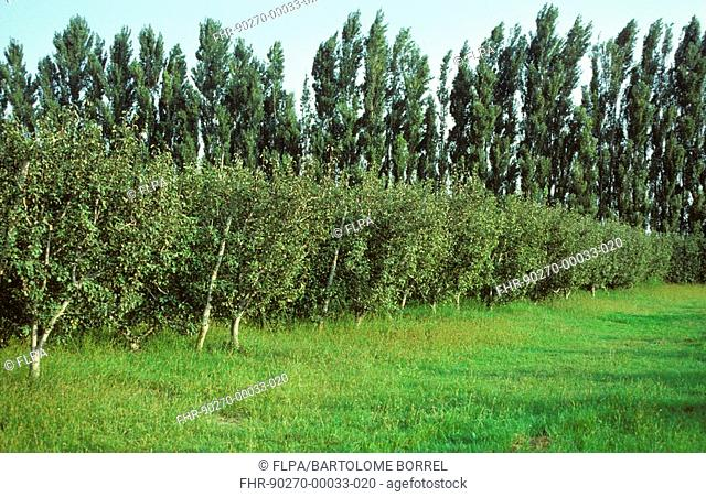 Farming - Apple orchard with row of poplars in background