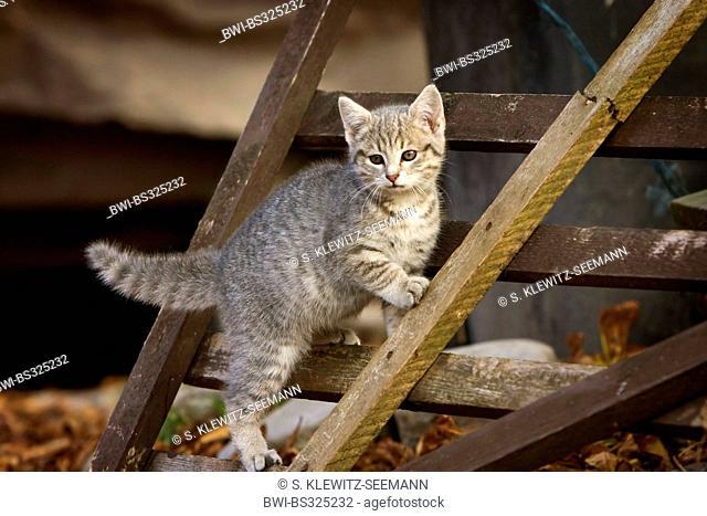 domestic cat, house cat (Felis silvestris f. catus), climbing on a wooden rack, Germany