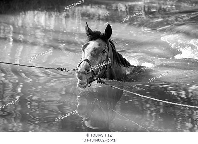 Horse tied with ropes in water