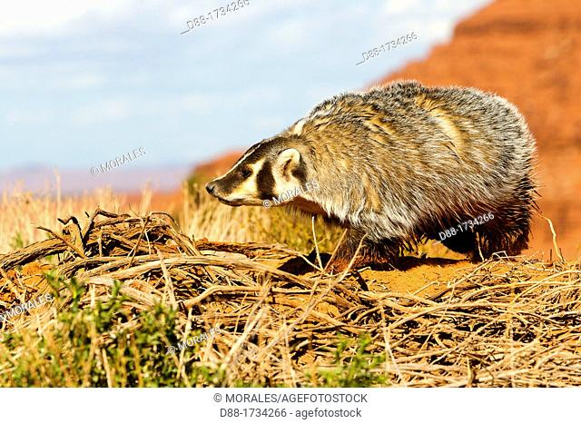 United Sates , Utah , Near Monument Valley , American badger Taxidea taxus