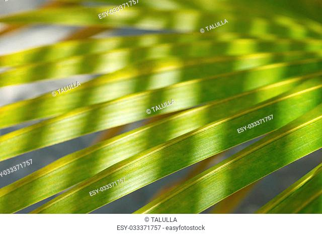 Background of palm leaves close up