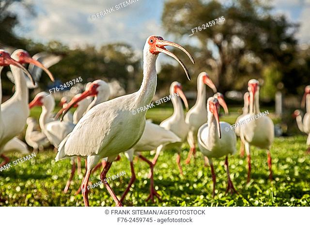 The ibises (collective plural ibis;classical plurals ibides and ibes are a group of long-legged wading birds in the family Threskiornithidae