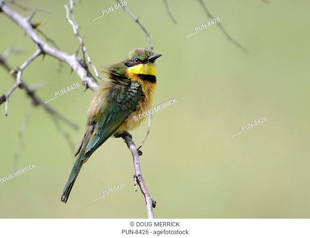 Little bee-eater Merops pusillus perched on a branch