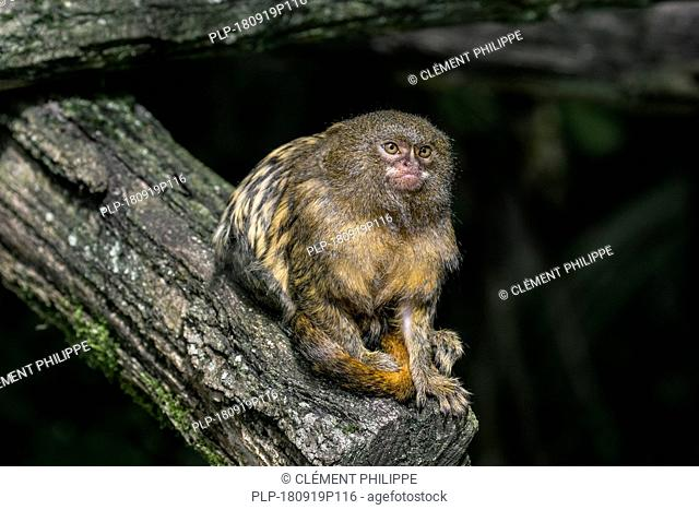 Pygmy marmoset (Cebuella pygmaea) in tree, native to rainforests of the western Amazon Basin in South America