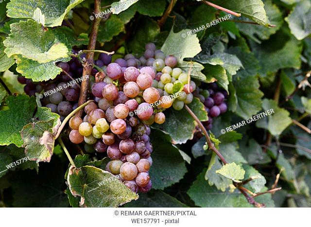 Close up of Ripe Gewürztraminer grape cluster at the bottom of vines at By Chadsey's Cairn winery in Prince Edward County Ontario Canada