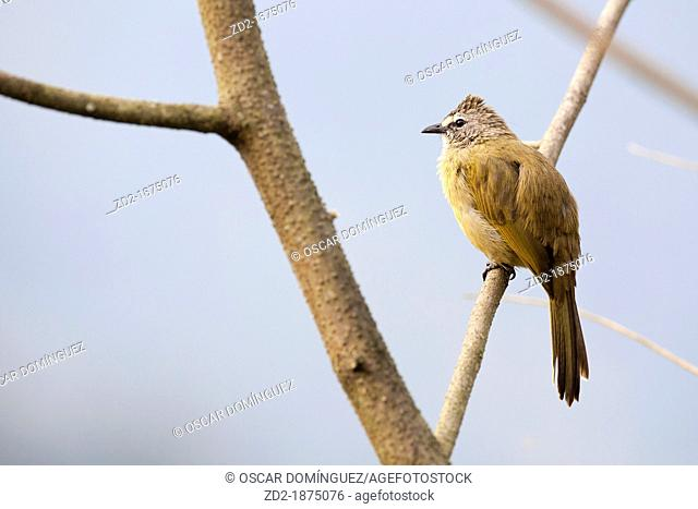 Flavescent Bulbul Pycnonotus flavescens perched on branch  Kaeng Krachan National Park  Thailand