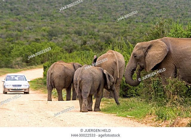 south africa, Addo Elephant National Park, Elephant herd on street , tourist car