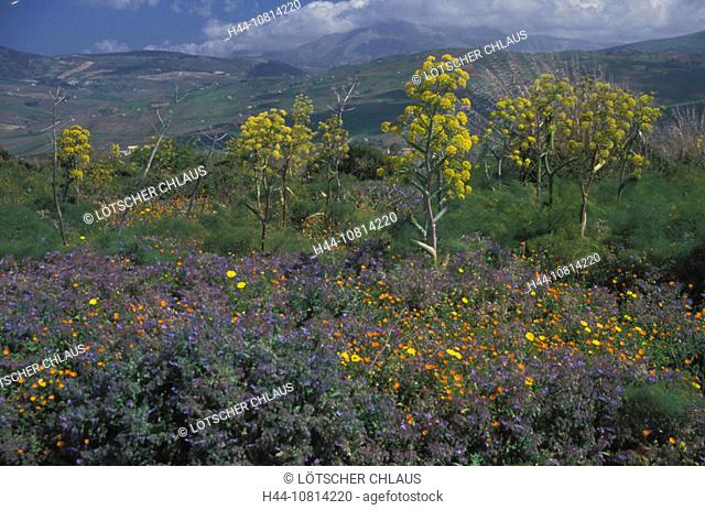 Wildflowers, yellow fennel blooming, near Segesta, Western Island, Sicily, Italy, Europe, landscape