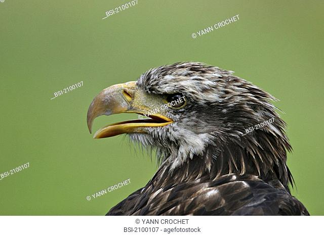 Golden eagle Golden eagle Aquila chrysaetos, picture taken in the southern Alps. Aquila chrysaetos  Golden eagle Eagle  Accipitrid  Diurnal raptor  Raptor  Bird
